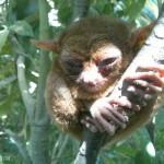tarsier10f